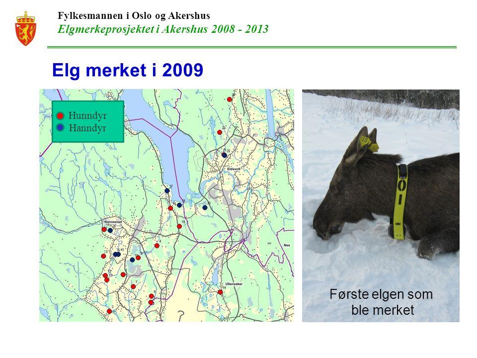 Fylkesmannen i Oslo og Akershus Elgmerkeprosjektet i Akershus 2008 - 2013 Elg merket i 2009 Første elgen som ble merket Hunndyr Hanndyr