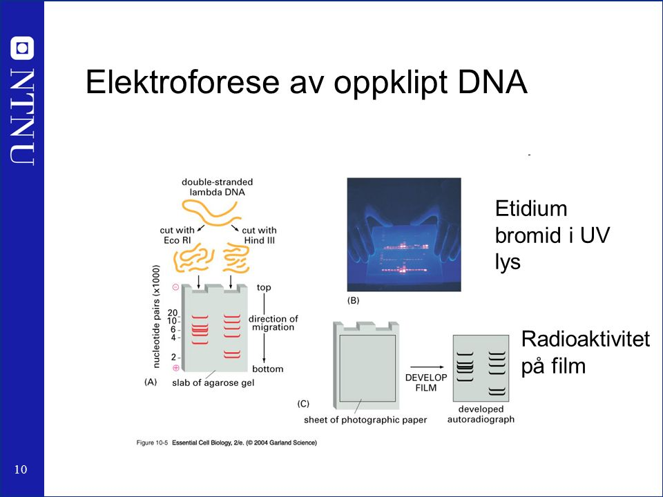 10 Elektroforese av oppklipt DNA Etidium bromid i UV lys Radioaktivitet på film