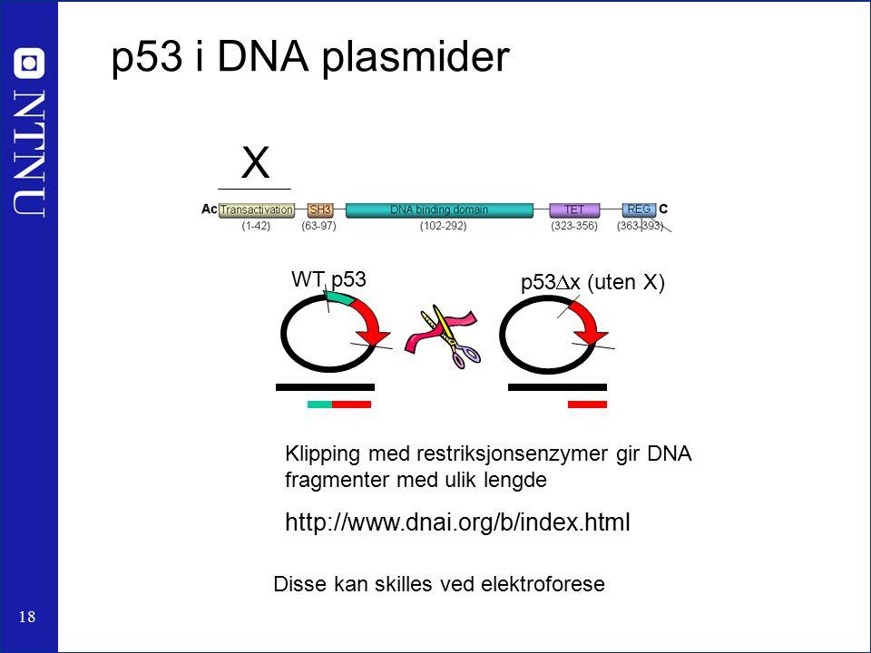 18 p53 i DNA plasmider Disse kan skilles ved elektroforese WT p53 p53  x (uten X) Klipping med restriksjonsenzymer gir DNA fragmenter med ulik lengde http://www.dnai.org/b/index.html X