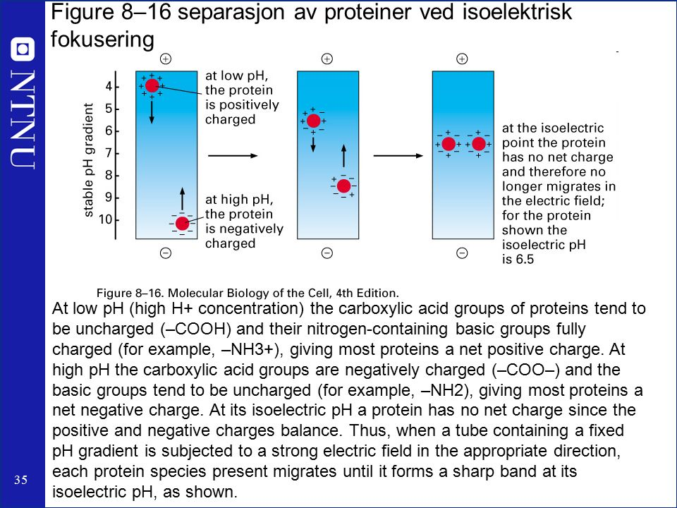 35 Figure 8–16 separasjon av proteiner ved isoelektrisk fokusering At low pH (high H+ concentration) the carboxylic acid groups of proteins tend to be uncharged (–COOH) and their nitrogen-containing basic groups fully charged (for example, –NH3+), giving most proteins a net positive charge.