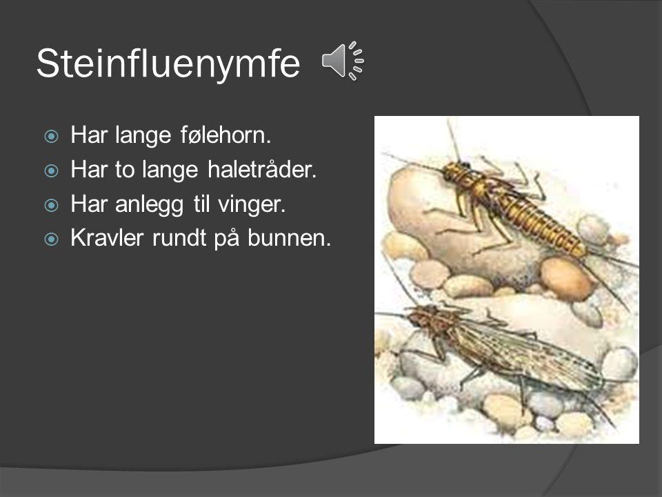 Døgnfluenymfe  Har korte følehorn.  Har tre haletråder på bakkroppen.  Har små anlegg til vinger.
