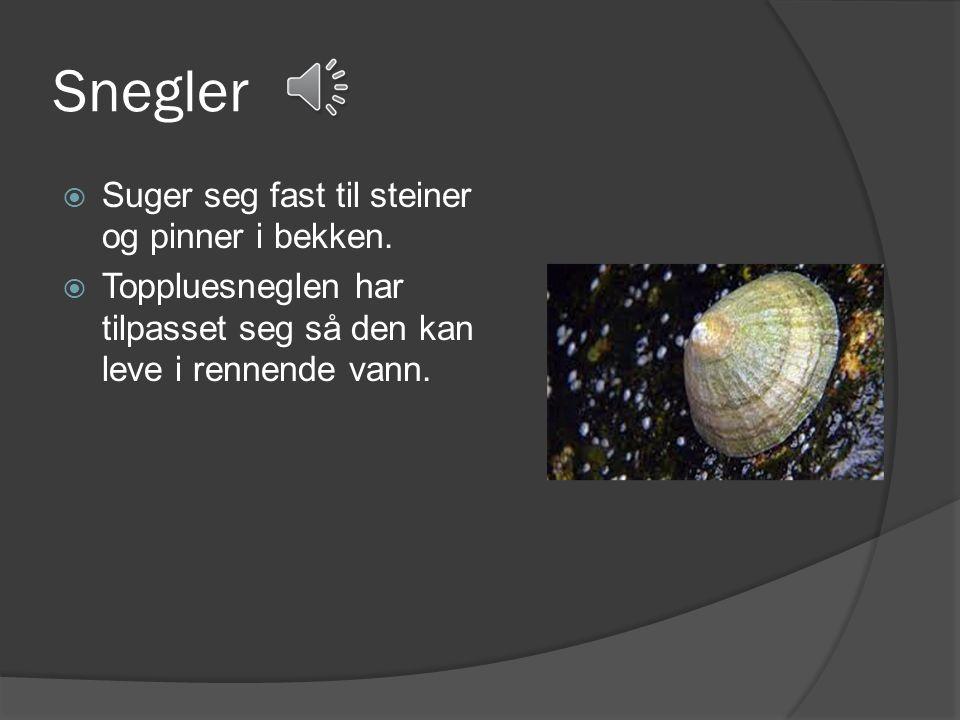 Steinfluenymfe  Har lange følehorn.  Har to lange haletråder.  Har anlegg til vinger.  Kravler rundt på bunnen.