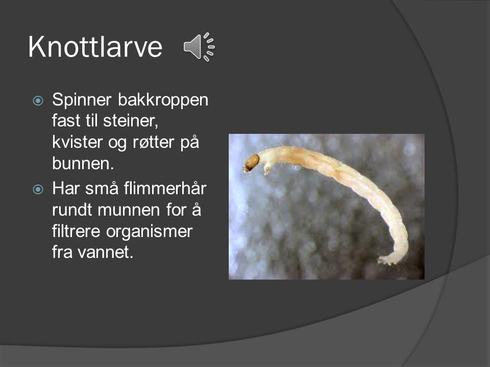 Snegler  Suger seg fast til steiner og pinner i bekken.  Toppluesneglen har tilpasset seg så den kan leve i rennende vann.