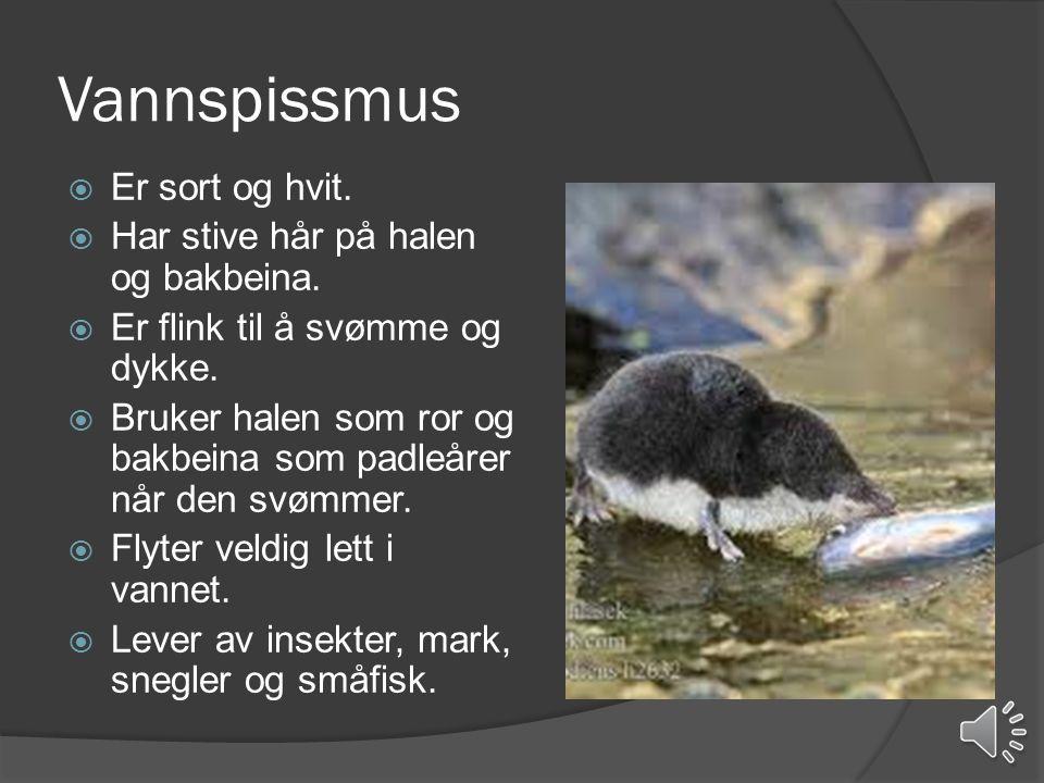 Vannrotte  Kalles også vånd eller jordrotte.  Er flink til å svømme.  Trives langs bekken.  Graver tuneller i bakken.  Lever av plantekost.  Gna