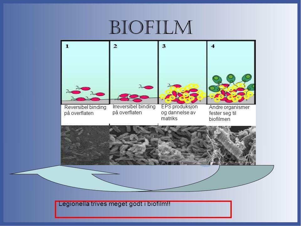 Biofilm Legionella trives meget godt i biofilm!! Reversibel binding på overflaten Irreversibel binding på overflaten EPS produksjon og dannelse av mat