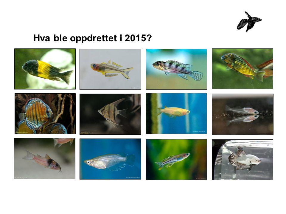 GruppeAntall oppdrett karpefisk64 cichlider330 diverse27 labyrintfisk47 høylandstannkarper36 eggleggende tannkarper80 levendef.