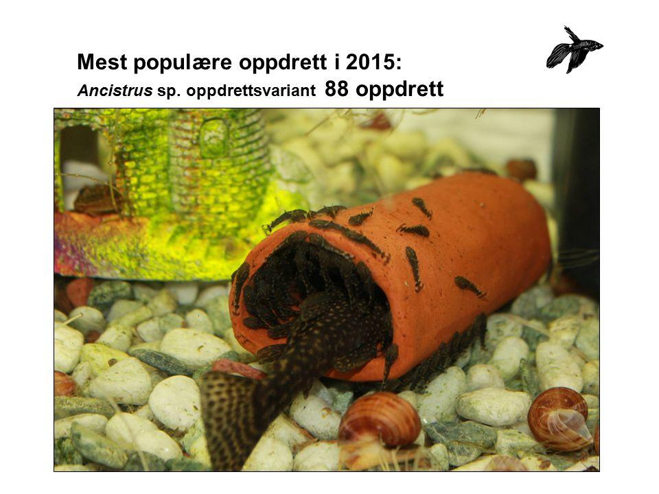 Mest populære oppdrett i 2015: Ancistrus sp. oppdrettsvariant 88 oppdrett