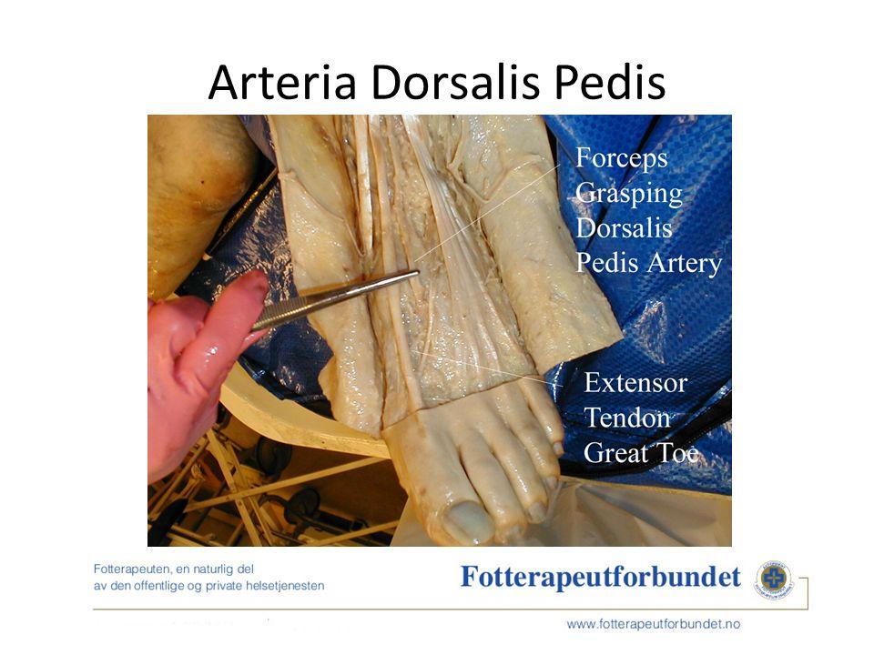 Arteria Dorsalis Pedis