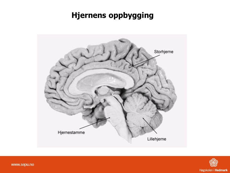 Hjernens oppbygging www.sepu.no