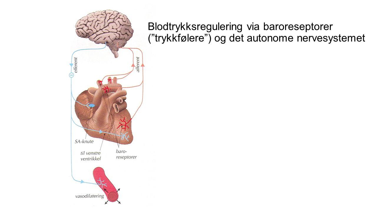 Blodtrykksregulering via renin-angiotensin-aldosteron-systemet.