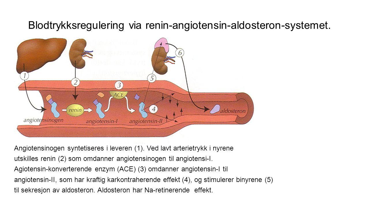 Kapillærene Ca 5 % av totale blodmengden befinner seg i kapillærene Tykkelse som diameteren på en rød blodcelle Strukturen muliggjør rask stoffutveksling med vevsvæsken