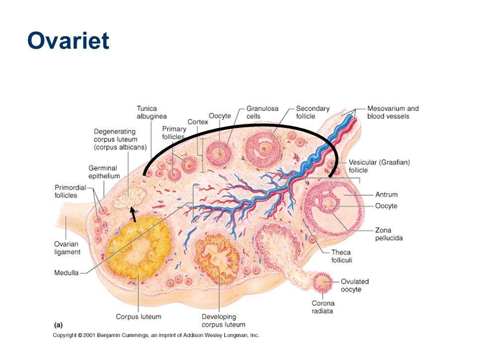 36 Utsette menstruasjon Forlenge syklus med gestagen 2355 mens 516-20 Progesteron Gestagen 52