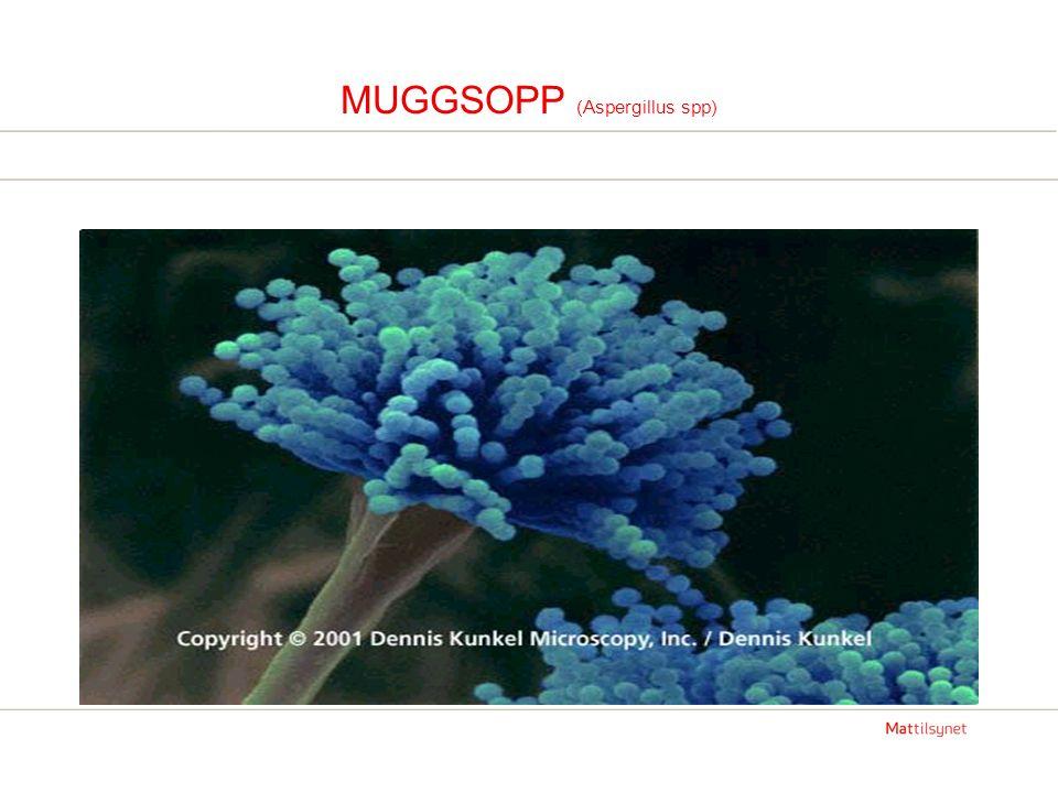 MUGGSOPP (Aspergillus spp)