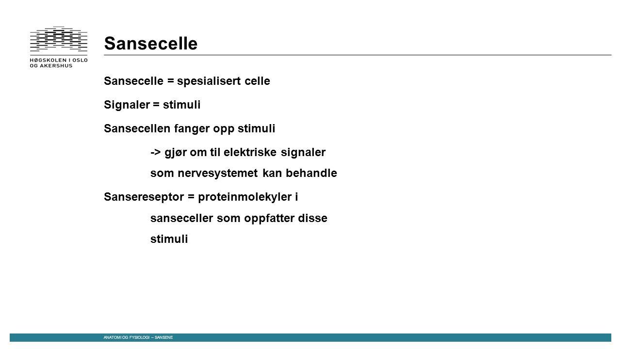 Sansecelle Sansecelle = spesialisert celle Signaler = stimuli Sansecellen fanger opp stimuli -> gjør om til elektriske signaler som nervesystemet kan behandle Sansereseptor = proteinmolekyler i sanseceller som oppfatter disse stimuli ANATOMI OG FYSIOLOGI – SANSENE