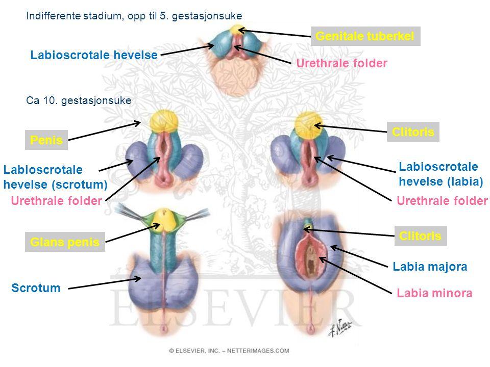 12 Embryologisk utvikling av genitalia externa http://www.netterimages.com/image/50753.htm