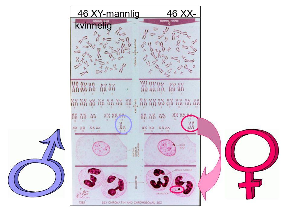46 XY-mannlig 46 XX- kvinnelig