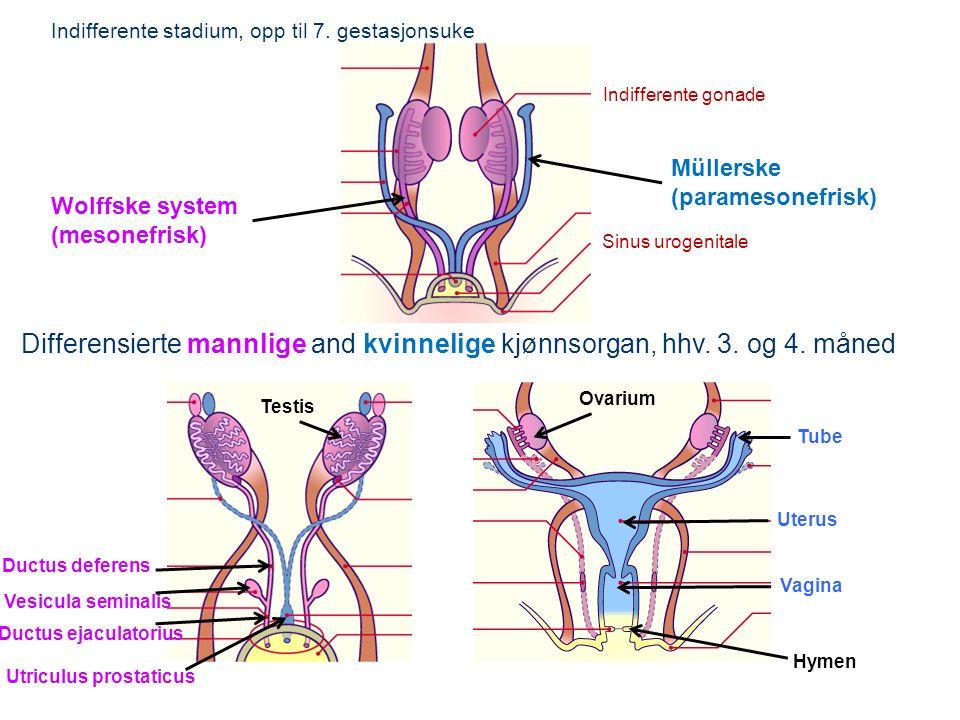 Müllerske (paramesonefrisk) Wolffske system (mesonefrisk) Indifferente stadium, opp til 7.
