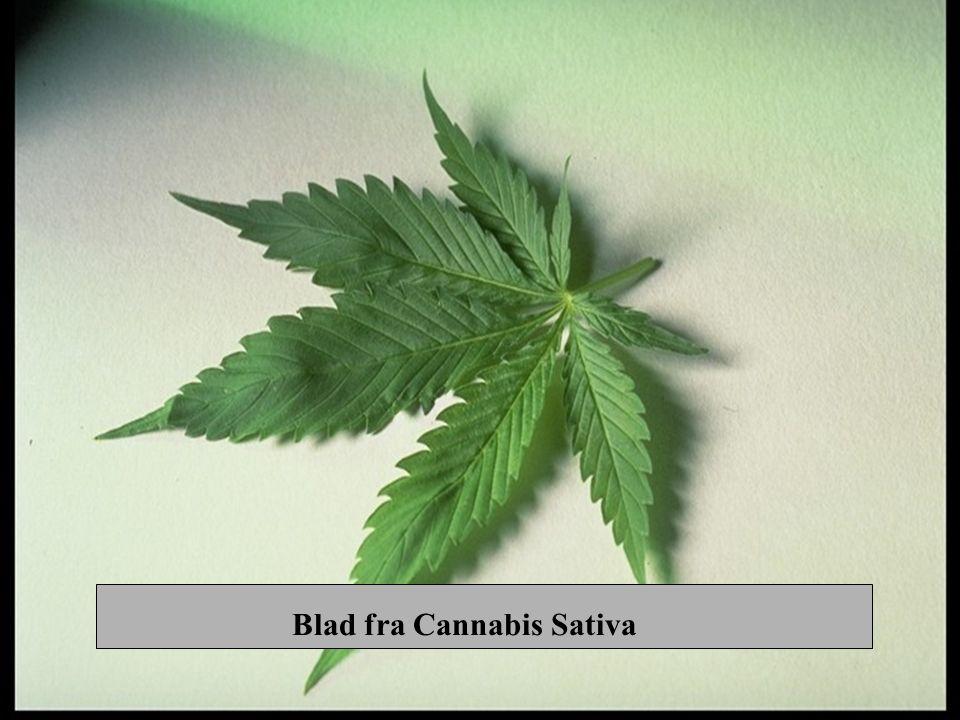 Cannabis –Hallusinogen effekt –Stans i fysisk og psyk.utvikling –Binder seg til fettvev i kroppen –Sløvende over tid –Konsentrasjonsvansker –GIR BLAFFEN –Psykiske problemer -