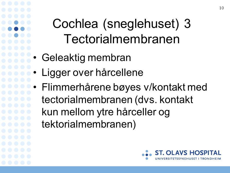 10 Cochlea (sneglehuset) 3 Tectorialmembranen Geleaktig membran Ligger over hårcellene Flimmerhårene bøyes v/kontakt med tectorialmembranen (dvs.