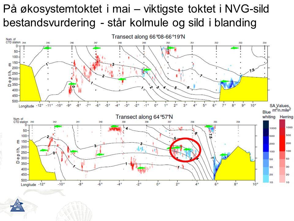 På økosystemtoktet i mai – viktigste toktet i NVG-sild bestandsvurdering - står kolmule og sild i blanding