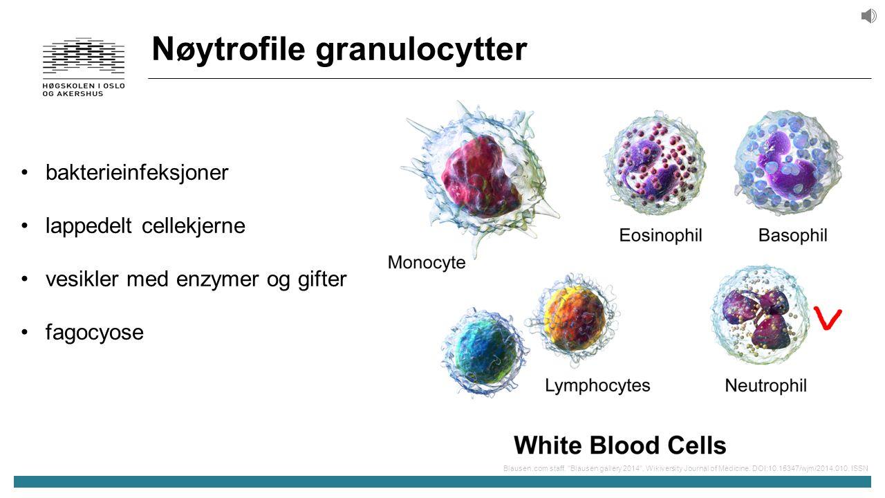 Nøytrofile granulocytter bakterieinfeksjoner lappedelt cellekjerne vesikler med enzymer og gifter fagocyose Blausen.com staff.
