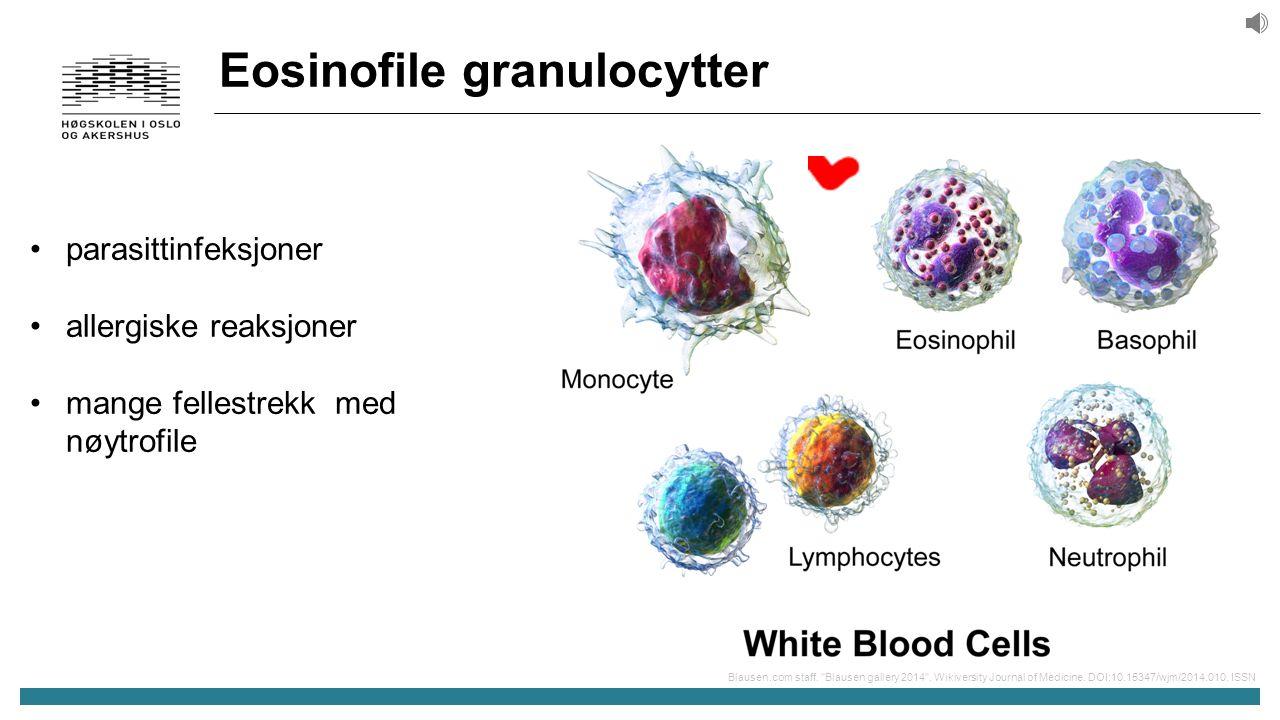 Eosinofile granulocytter parasittinfeksjoner allergiske reaksjoner mange fellestrekk med nøytrofile Blausen.com staff.
