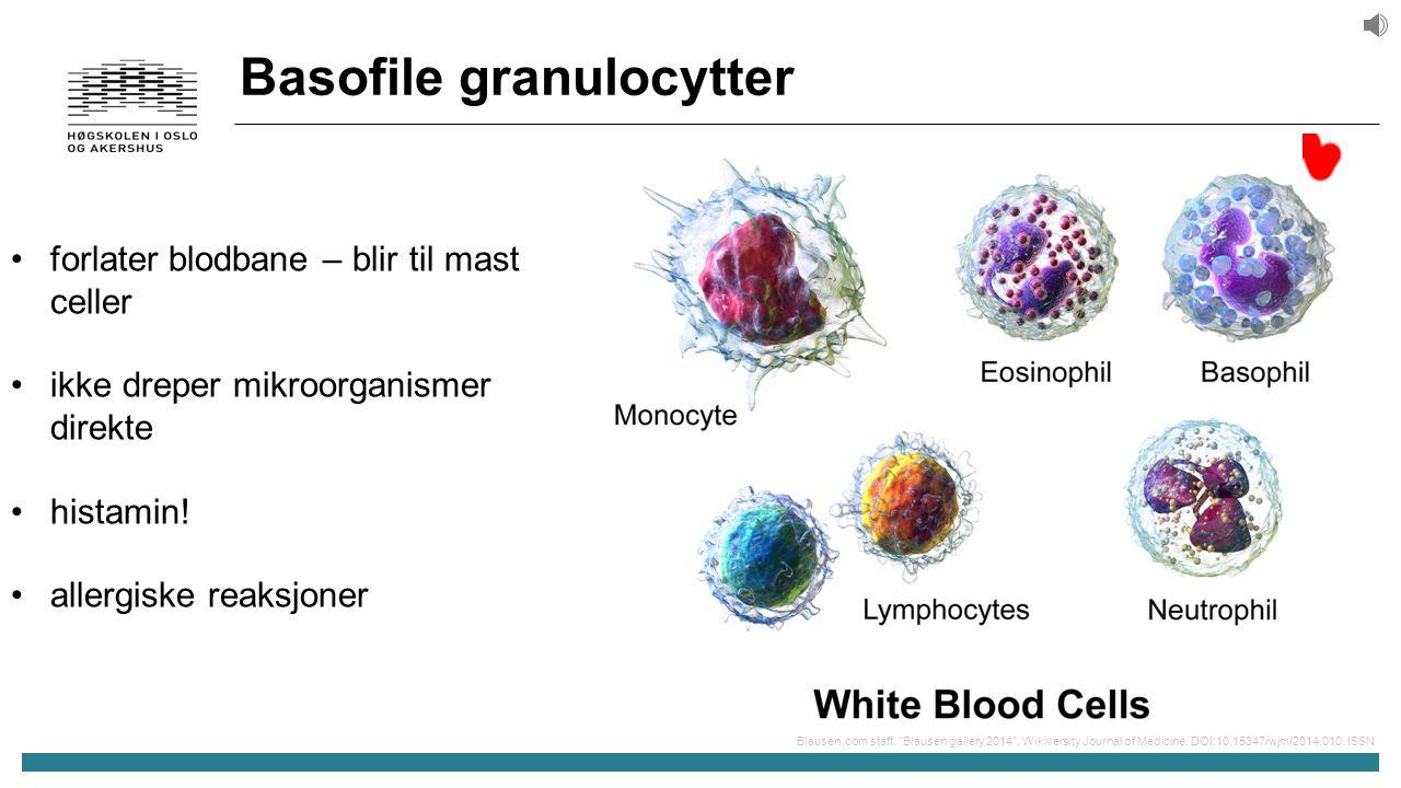 Basofile granulocytter forlater blodbane – blir til mast celler ikke dreper mikroorganismer direkte histamin.