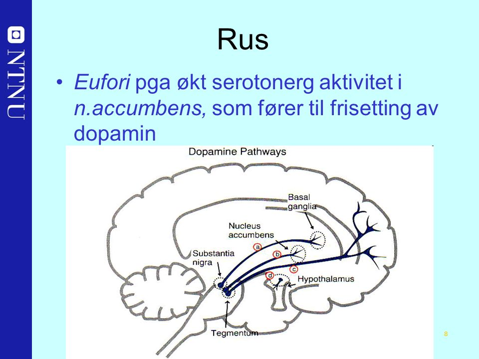 8 Rus Eufori pga økt serotonerg aktivitet i n.accumbens, som fører til frisetting av dopamin