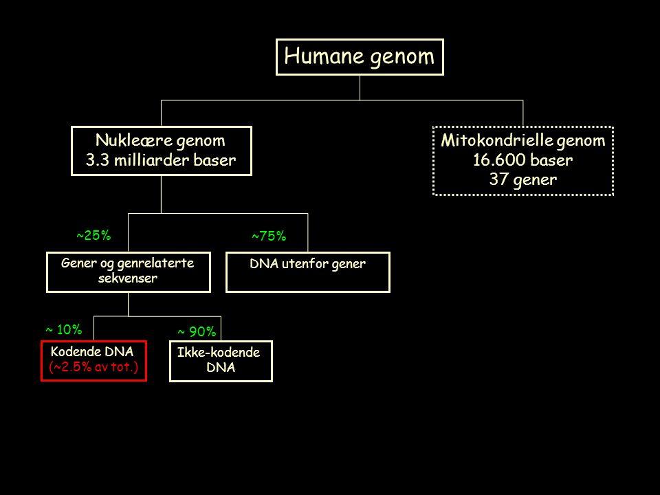 Humane genom Nukleære genom 3.3 milliarder baser Mitokondrielle genom 16.600 baser 37 gener Gener og genrelaterte sekvenser DNA utenfor gener ~25% ~75% Kodende DNA (~2.5% av tot.) Ikke-kodende DNA ~ 10% ~ 90%