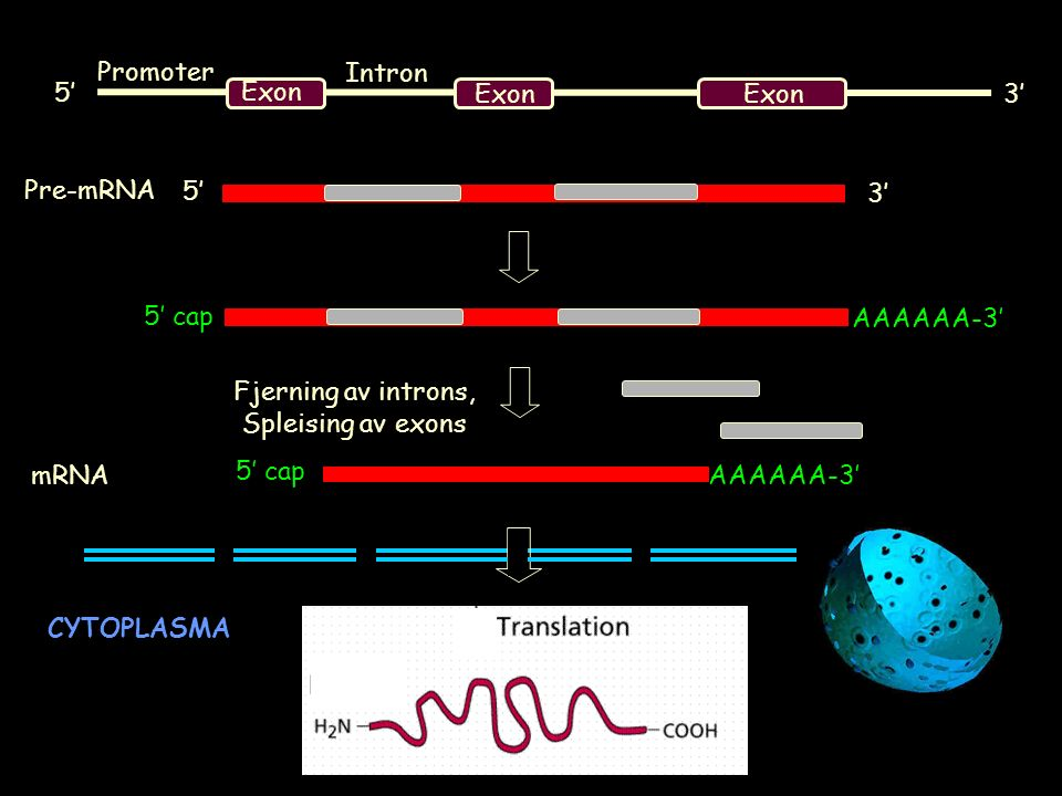 Exon 5' 3' Exon 5' 3' 5' cap AAAAAA-3' Pre-mRNA Fjerning av introns, Spleising av exons 5' cap AAAAAA-3' mRNA CYTOPLASMA Promoter Intron