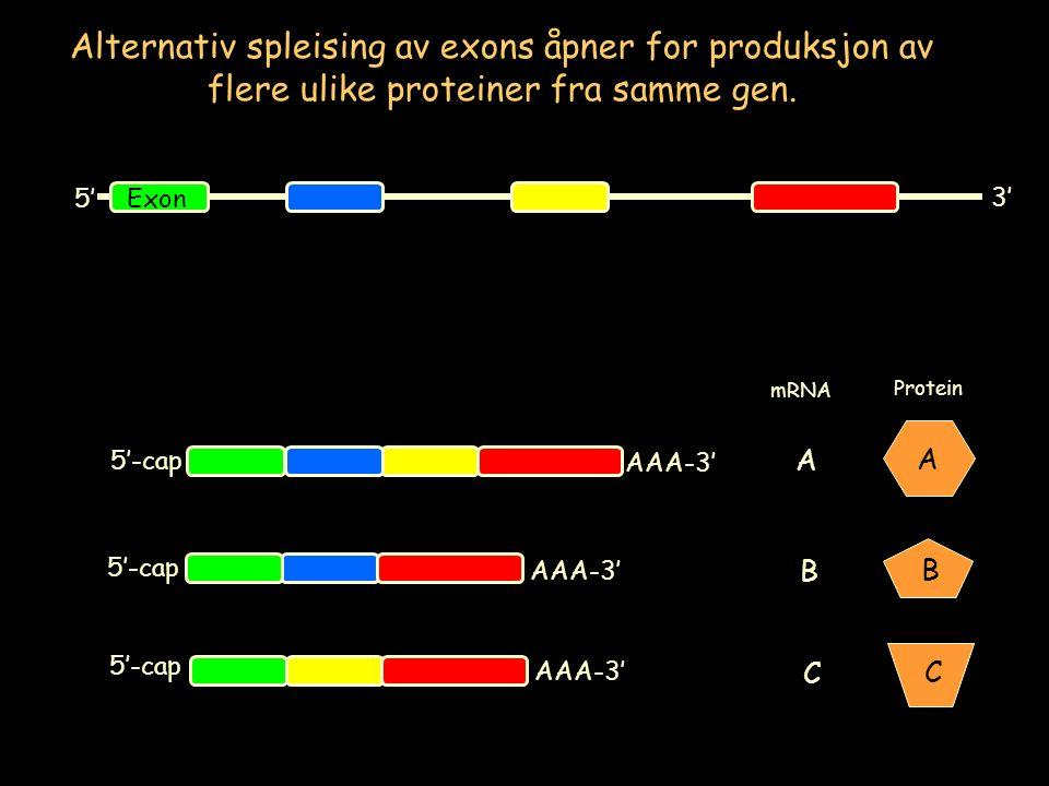 Alternativ spleising av exons åpner for produksjon av flere ulike proteiner fra samme gen. 5' 3' Exon A B C A B C Protein mRNA 5'-cap AAA-3'