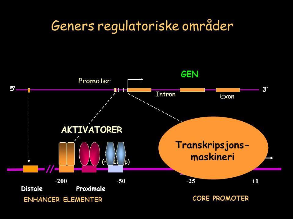 GEN 3' 5' Exon Intron (~6-12 bp) Start +1-25-50 CORE PROMOTER -200 ProximaleDistale ENHANCER ELEMENTER TATA AKTIVATORER Transkripsjons- maskineri Promoter Geners regulatoriske områder