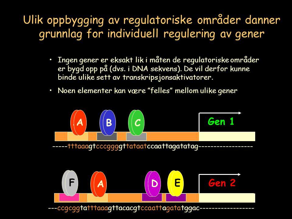 Gen 1 Gen 2 A BC A BC A A D D E E A F ---ccgcggtatttaaagttacacgtccaattagatatggac------------------ -----tttaaagtcccggggttataatccaattagatatag------------------ Ulik oppbygging av regulatoriske områder danner grunnlag for individuell regulering av gener Ingen gener er eksakt lik i måten de regulatoriske områder er bygd opp på (dvs.