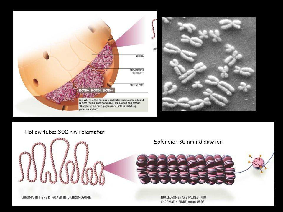 Kromosomer består av DNA og protein Chromatin fiber: 10 nm i diameter DNA dobbel-helix ca 2 nm i diameter Nukleosom