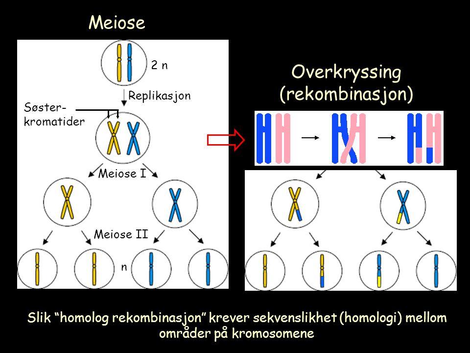 Meiose 2 n Replikasjon Meiose I Meiose II n Søster- kromatider Overkryssing (rekombinasjon) Slik homolog rekombinasjon krever sekvenslikhet (homologi) mellom områder på kromosomene