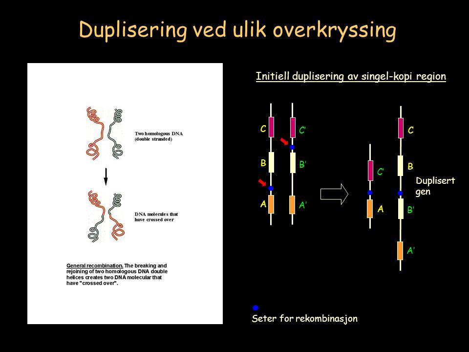 Seter for rekombinasjon A B C A' B' C' Initiell duplisering av singel-kopi region Duplisering ved ulik overkryssing A C' A' B' C B Duplisert gen
