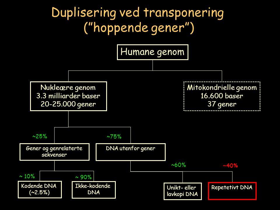 Unikt- eller lavkopi DNA Repetetivt DNA ~60% ~40% Humane genom Mitokondrielle genom 16.600 baser 37 gener Nukleære genom 3.3 milliarder baser 20-25.000 gener Gener og genrelaterte sekvenser DNA utenfor gener ~25% ~75% Kodende DNA (~2.5%) Ikke-kodende DNA ~ 10% ~ 90% Duplisering ved transponering ( hoppende gener )
