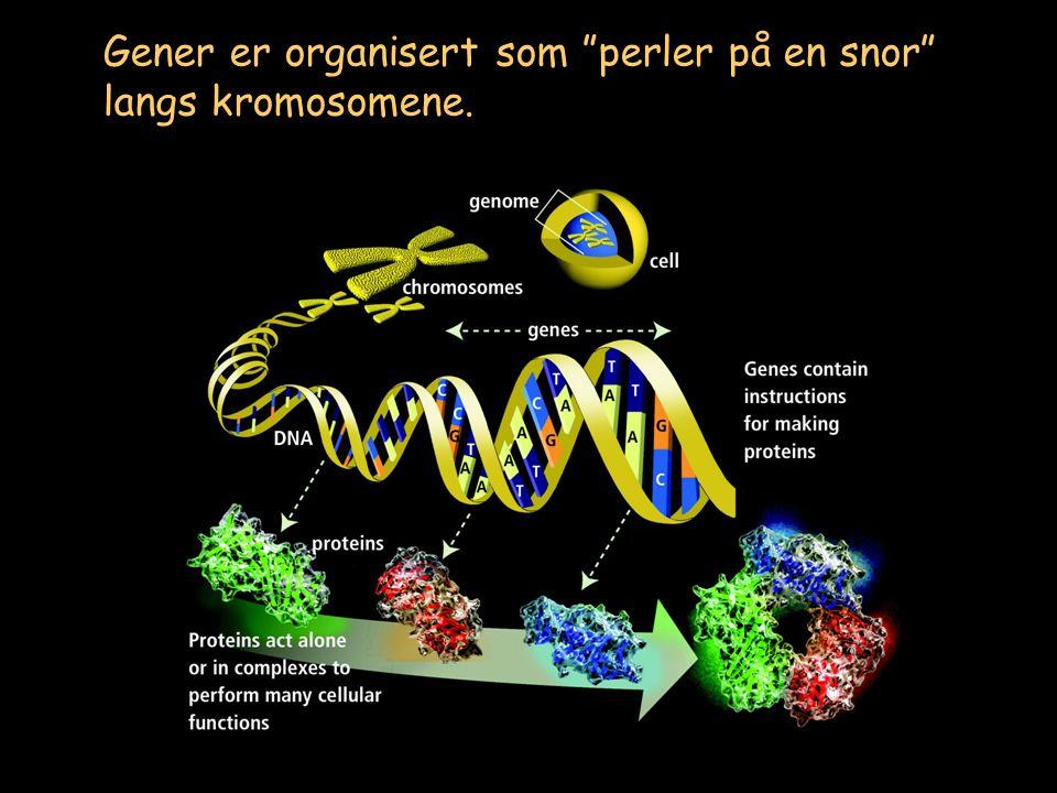 Gener er ikke aktive hele tiden, men kan slås på av en rekke ulike signaler Hormoner/vekstfaktorer Sol-lys Berøring Smerte Betennelse Næringsstoffer/ vitaminer Virus TRANSKRIPSJON Organiske/uorganiske signalmolekyler Regulering av gen-uttrykk CELLULÆRE FORHOLD M S G1 G2 YTRE FAKTORER