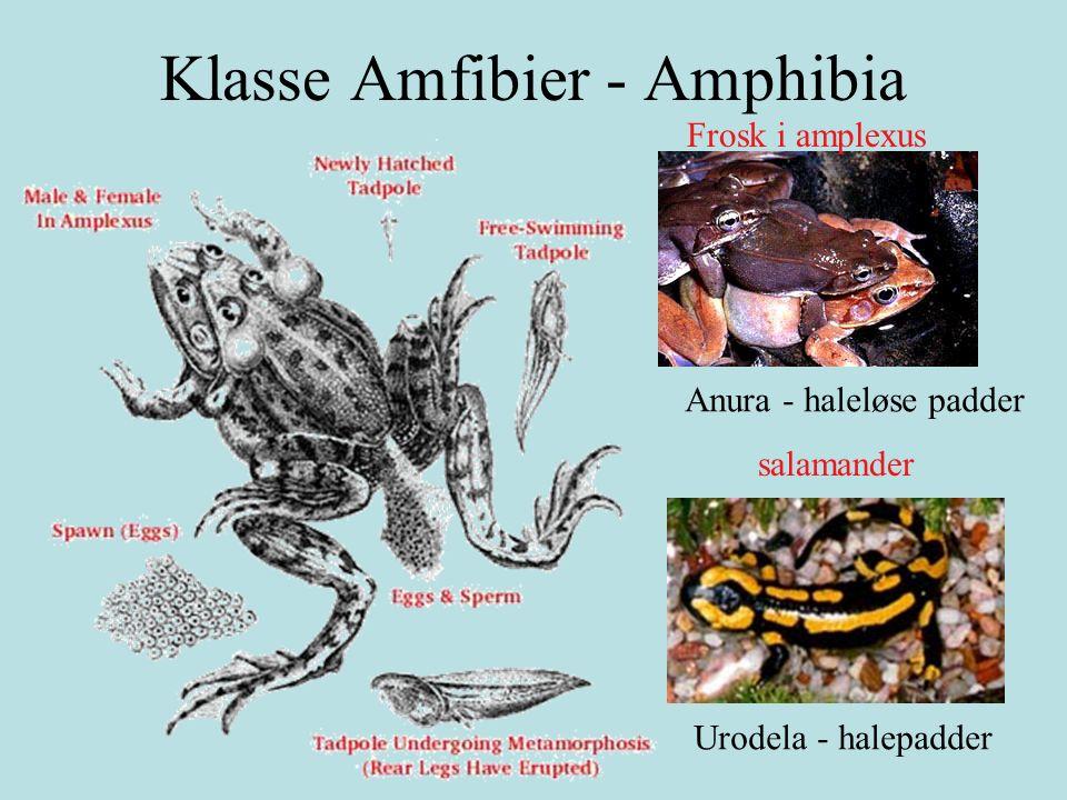 Acanthostega : firfotet fisk