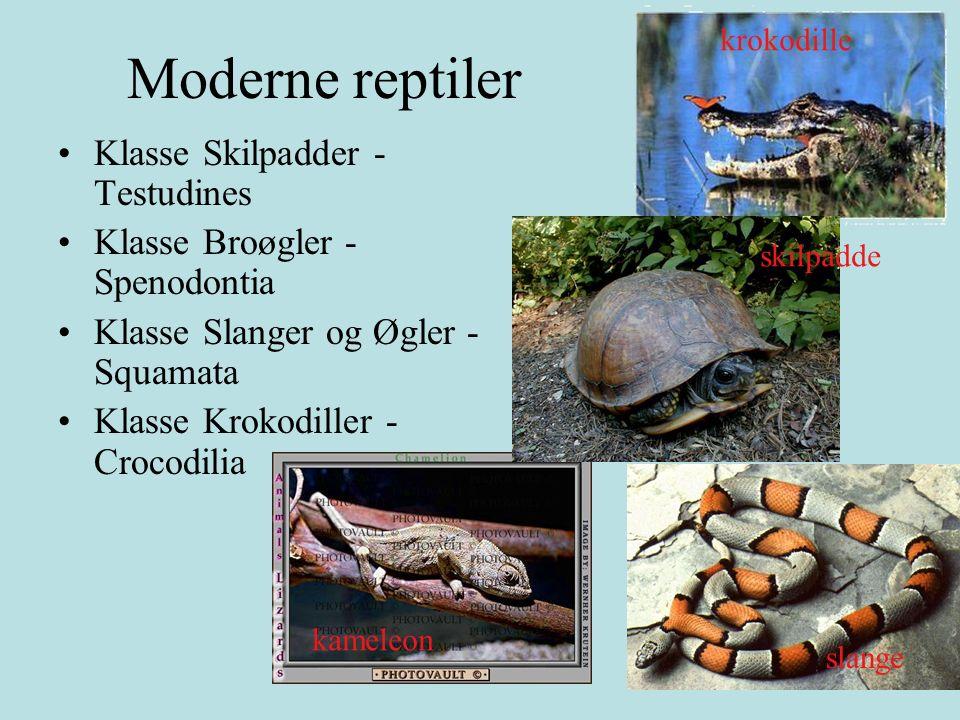 Kjennetegn ved en reptil Skjell med keratin: vanntett Indre befruktning Ektoterm - justerer kroppstemperaturen atferdsmessig Eldste fossil 300 mill år