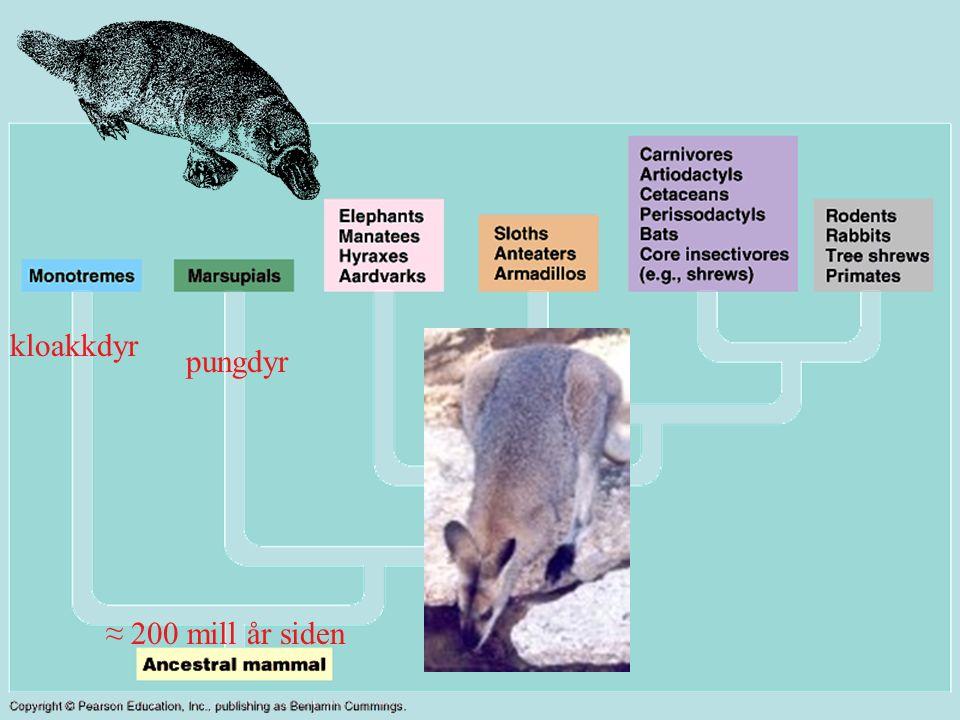 Pattedyr - Mammalia Melkekjertel Hår (av keratin) Endoterme Mellomgulv Indre befruktning (vanligvis med morkake) Differensierte tenner