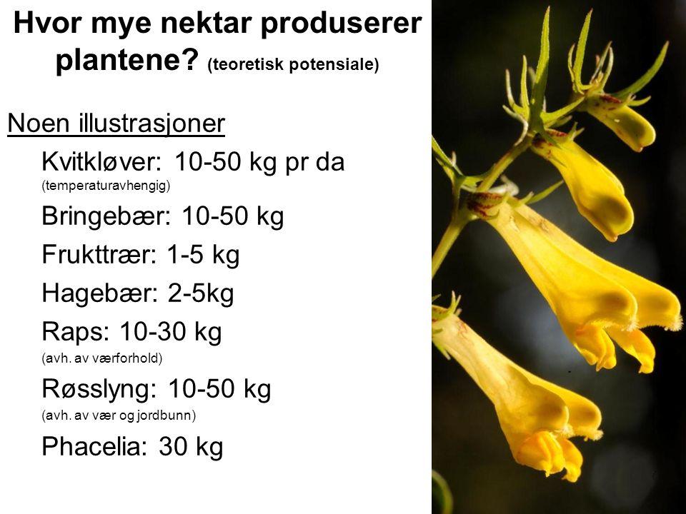 Hvor mye nektar produserer plantene? (teoretisk potensiale) Noen illustrasjoner Kvitkløver: 10-50 kg pr da (temperaturavhengig) Bringebær: 10-50 kg Fr