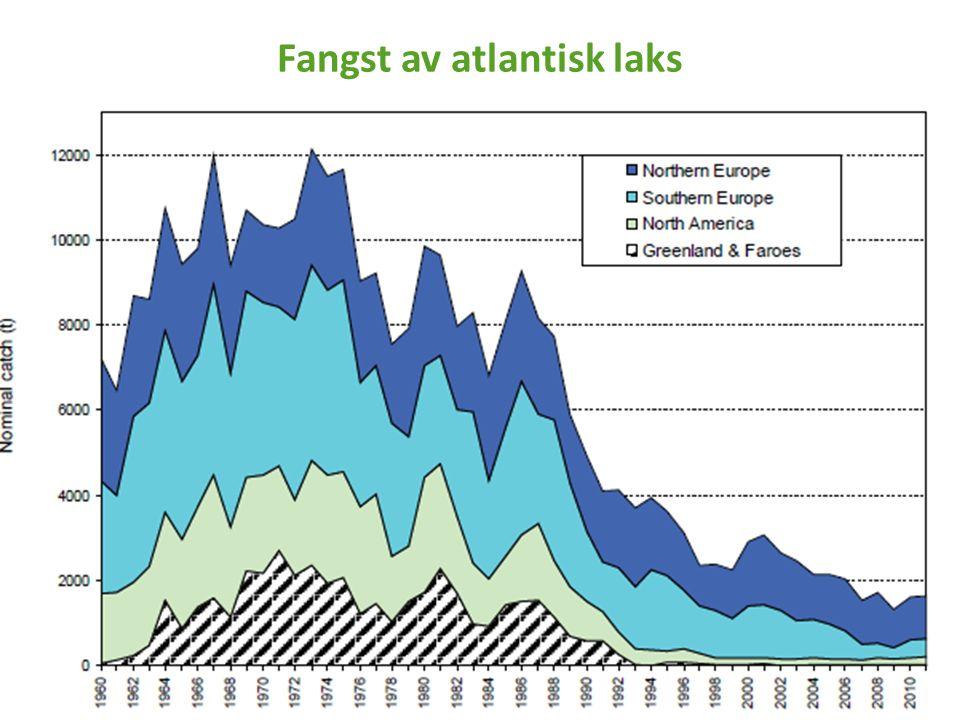 Fangst av atlantisk laks