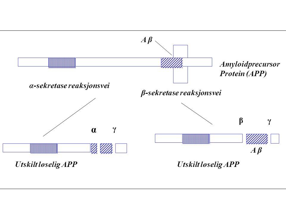 A β β-sekretase reaksjonsvei Utskilt løselig APP Amyloidprecursor Protein (APP) β Utskilt løselig APP α γ α-sekretase reaksjonsvei A β γ