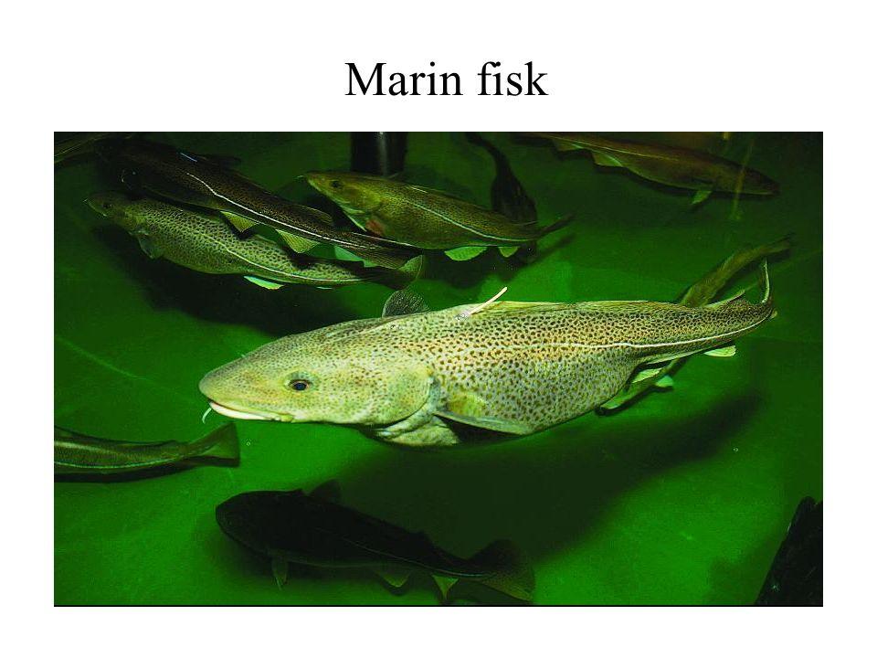 Marin fisk