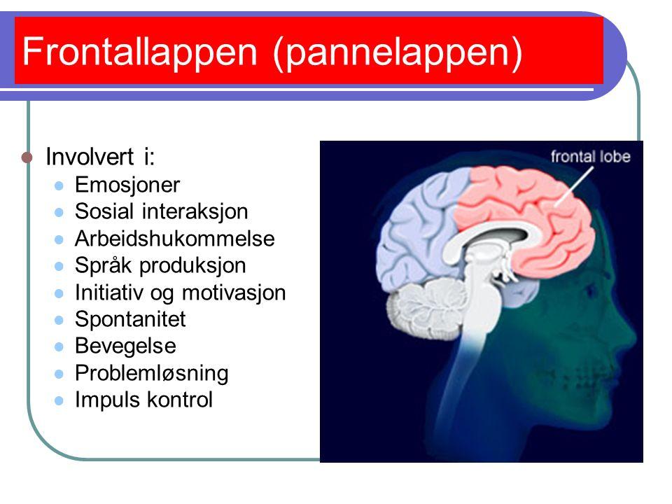 Temporallappen (tinninglappen) Involvert i: Objekt persepsjon Gjenkjenelse Innlæring og hukommelse Hørsel Forståelse av språk