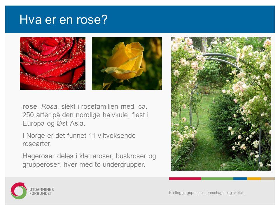 Hva er en rose? Kartleggingspresset i barnehager og skoler... rose, Rosa, slekt i rosefamilien med ca. 250 arter på den nordlige halvkule, flest i Eur