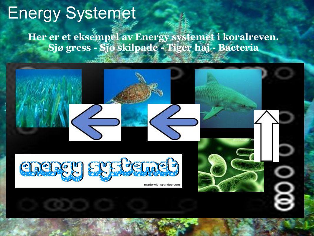 Energy Systemet Her er et eksempel av Energy systemet i koralreven. Sjø gress - Sjø skilpade - Tiger haj - Bacteria