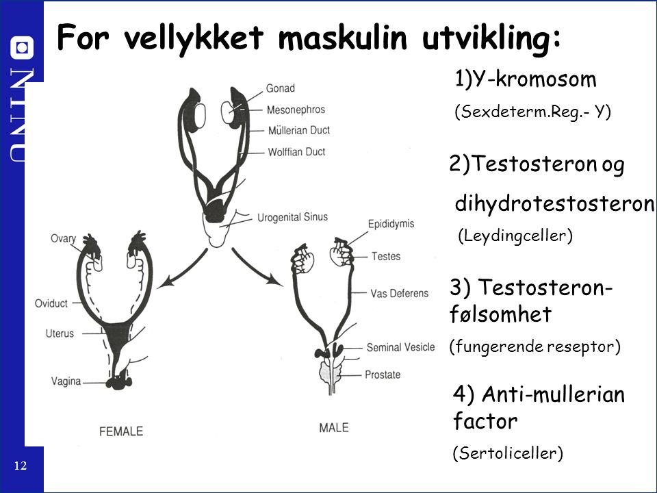 12 4) Anti-mullerian factor (Sertoliceller) For vellykket maskulin utvikling: 1)Y-kromosom (Sexdeterm.Reg.- Y) 2)Testosteron og dihydrotestosteron (Le