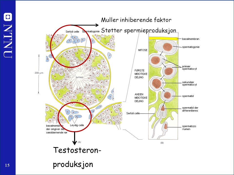 15 Testosteron- produksjon Muller inhiberende faktor Støtter spermieproduksjon